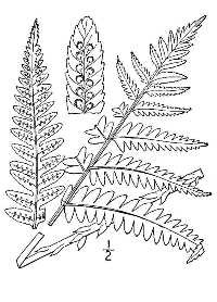 Dryopteris goldiana,USDA-NRCS PLANTS Database / Britton, N.L., and A. Brown. 1913. An illustrated flora of the northern United States, Canada and the British Possessions. 3 vols. Charles Scribner's Sons, New York. (Accessed 3/2014).