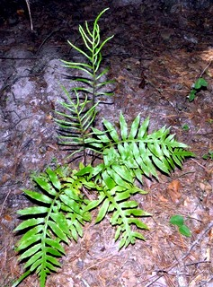 Woodwardia areolata.Bobby Hattaway.www.discoverlife.org (Accessed 3/2014).