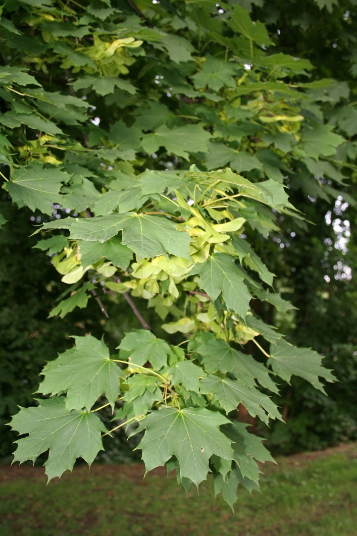 Photo: Acer platanoides.commons.wikimedia.org.