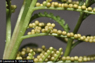 Botrychium dissectum.© Lawrence S. Gilliam 2009. hosted by the USDA-NRCS PLANTS Database