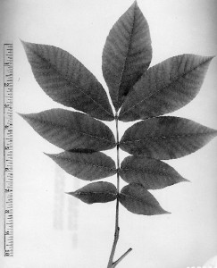 Carya tomentosa.W.D. Brush @ USDA-NRCS PLANTS Database