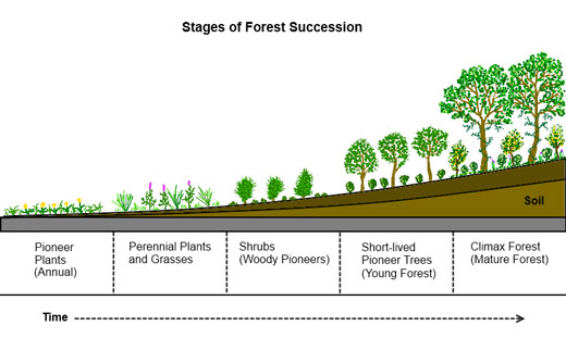 Forest-Succession_profile_chart.permaculturenews.org