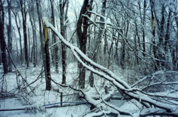 Ice storm damge to a forest.broken1.wheelersmaple.com