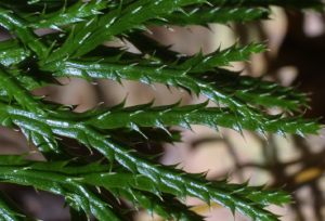 Lycopodium-digitatum-branches-and-leaves