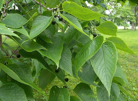 Celtis occidentalis.John Hilty.www.illinoiswildflowers.info. (Accessed7/2014).