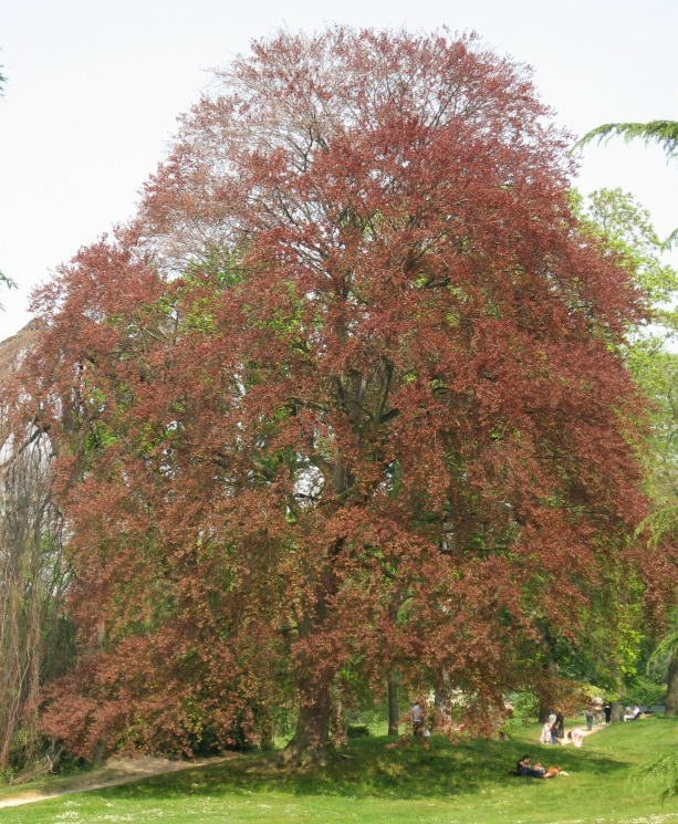 Fagus sylvatica.purpurea.commons.wikimedia,org. (Accessed 9/2014).