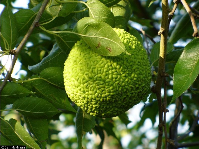 Maclura pomifera.Jeff McMillian @ USDA-NRCS PLANTS Database. (Accessed 8/2014).