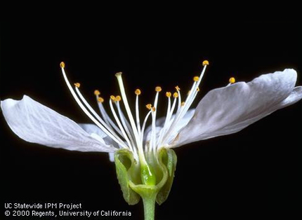 Prunus sp. flower structure.Photo JK Clark.© Regents, University of California.fruitandnuteducation.ucdavis.edu (Both Accessed (/2014).