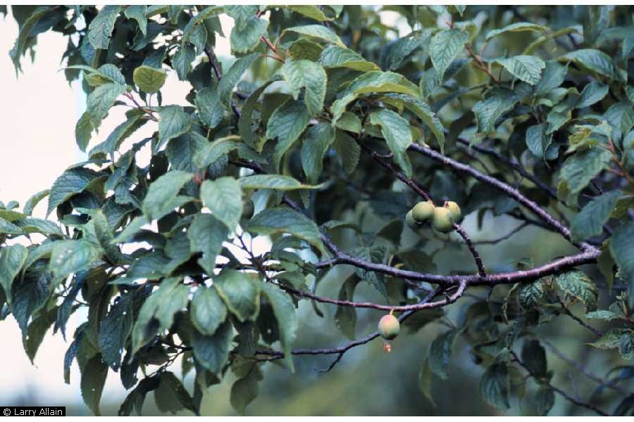 Prunus americana.Larry Allain, hosted by the USDA-NRCS PLANTS Database. (Accessed 9/2014).