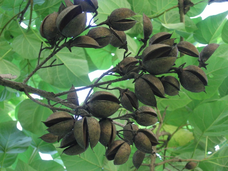 Paulownia tomentosa.fruit shell.commons.wikimedia.org. (Accessed 8/2014).
