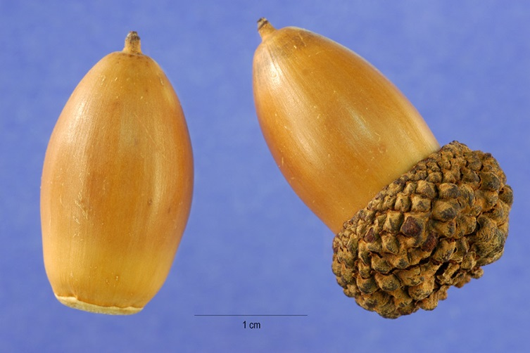 Quercus alba.fruit.Steve Hurst, hosted by the USDA-NRCS PLANTS Database.