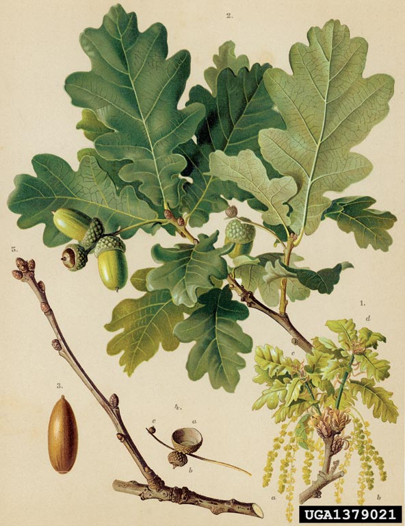 Quercus robur.forestryimages.org. (Accessed 7/2014).