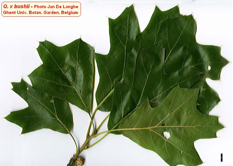 Quercus x bushii.Jan De Langhe.Ghent Univ. Botan. Garden. Belgium.oaks.of.the.world.free.fr. (Accessed 9/2014).