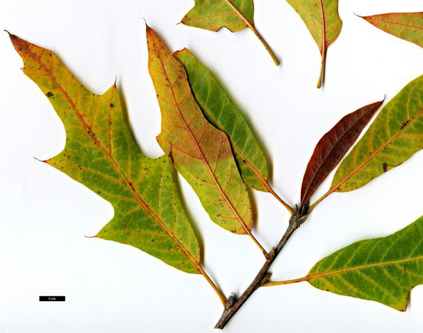 Quercus filialis.oaks of the world free.fr. (Accessed 9/2014)