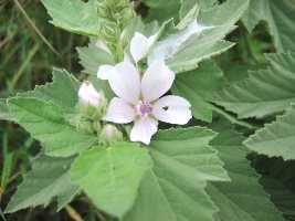 Althaea officinalis.commons.wikipedia.org. (Accessed 3/2014).