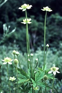 Anemone virginiana. Gary P. Fleming.© 2014 Virginia Botanical Associates.vaplantatlas.org. (Accessed 3/2014).