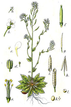 Arabidopsis thaliana.commons.wikimedia.org(Accessed 3/2014).