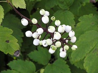 Actaea alba.commons.wikipedia.org. (Accessed 3/2014)