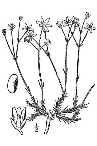 Arenaria caroliniana.USDA-NRCS PLANTS Database.Britton, N.L., and A. Brown. 1913.An illustrated flora of the northern United States, Canada and the British Possessions. 3 vols.Charles Scribner's Sons, New York. Vol. 2: 55. (Accessed 3/20140).