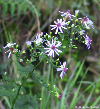 Aster lowrieanus.Janet Novak.www.ct-botanical-society.org (Accessed 11/2014).