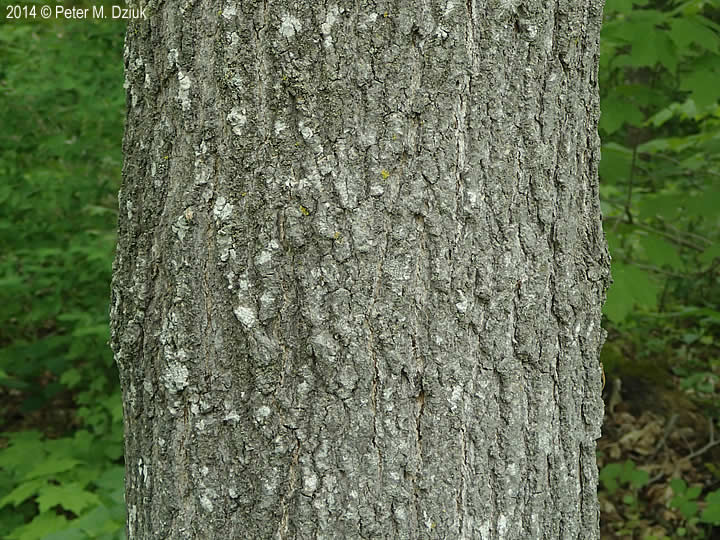 Acer nigrum. (black maple) bark. 2014 © Peter M. Dziuk.MinnesotaWildflowers.info
