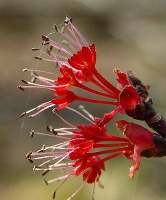 Acer rubrum staminate flowers. U. Alabama. New Page 1. Catagories of Flowers jb004.k12.sd.us