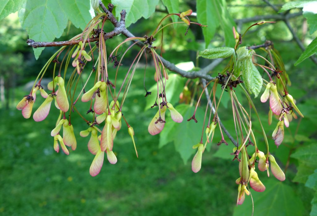 acer-rubrum-commons-wikimedia-org