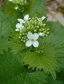 Alliaria petiolata flower. upload.wikimedia.org