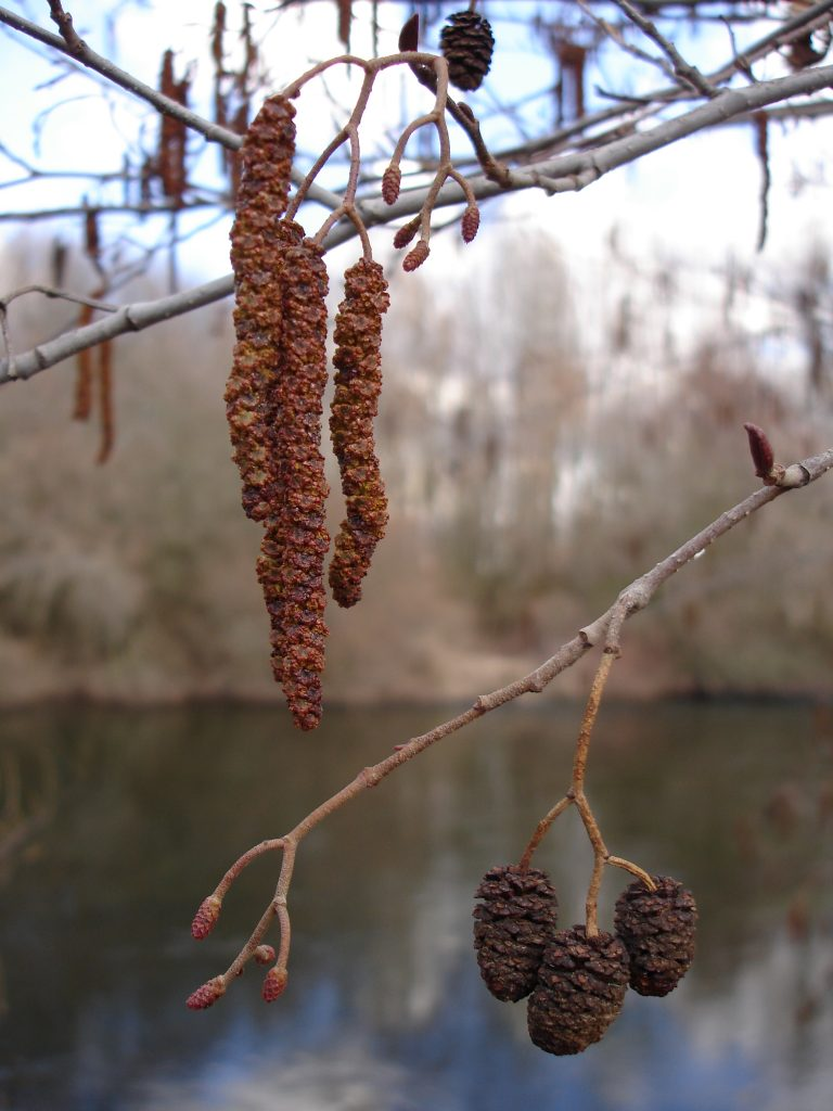 Alnus glutinosa. (male and female flowers and old fruit)_01_by-dpc. upload.wikimedia.org