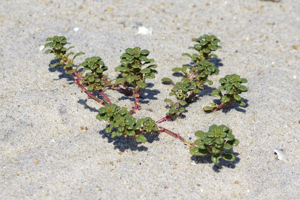 Amaranthus pumilus (seabeach amaranth). Photo by Mike Burchett. Maryland Biodiversity Project, Assateague Island 8/2011. marylandbiodiersity.com