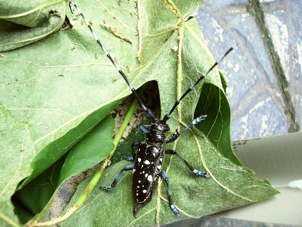 Anoplophora glabripennis (Asian long-horned beetle) Enschede2008. commons.wikimedia.org