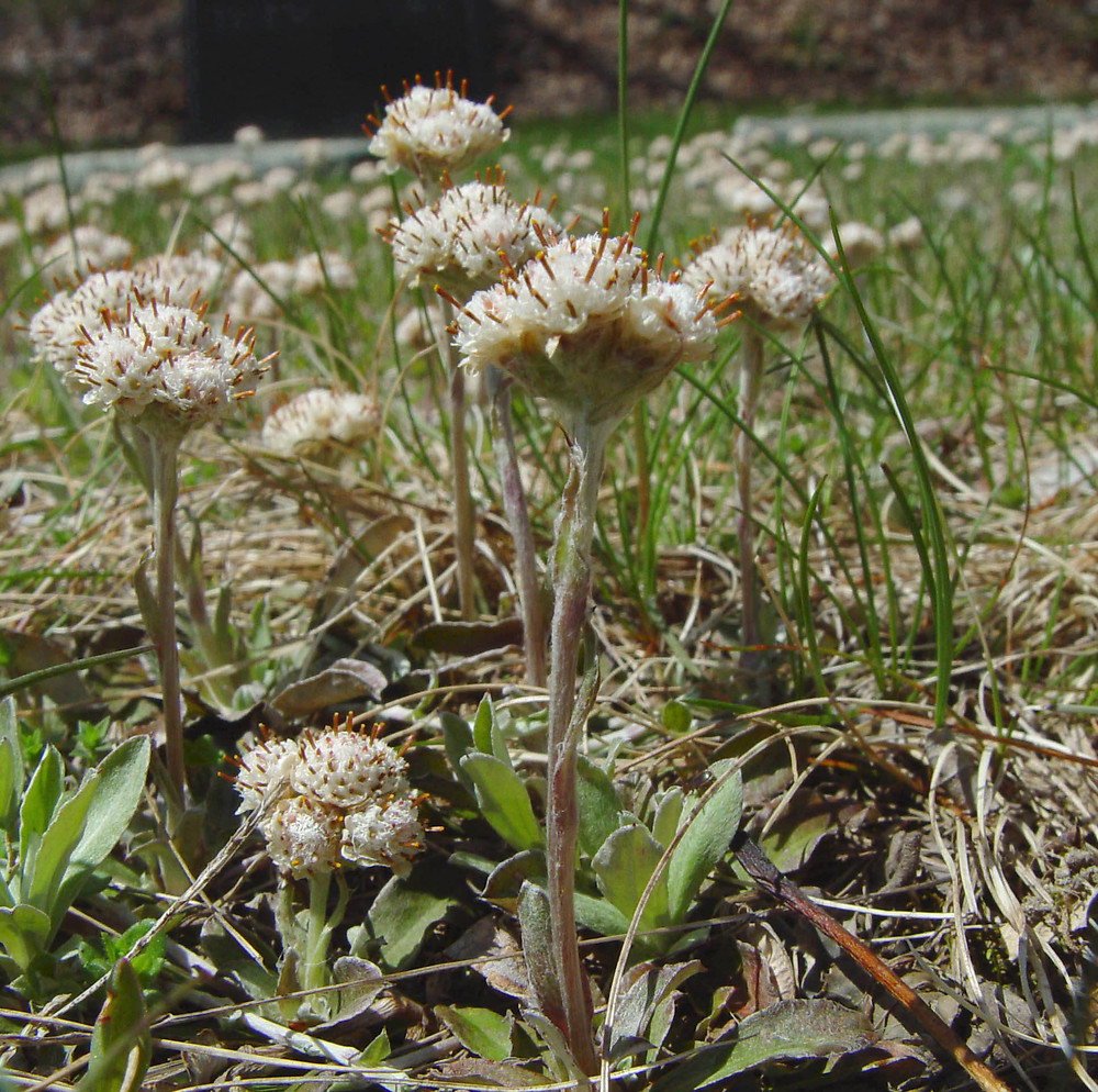 Antennaria neglecta. By Arthur Haines. Copyright © 2015.New England Wild Flower Society.gobotany.newenglandwild.org