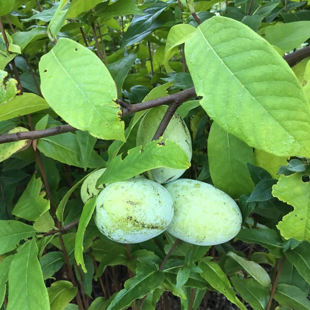 Asimina triloba (pawpaw) fruit.Richard Barry.Andover, MA.9/21/2016