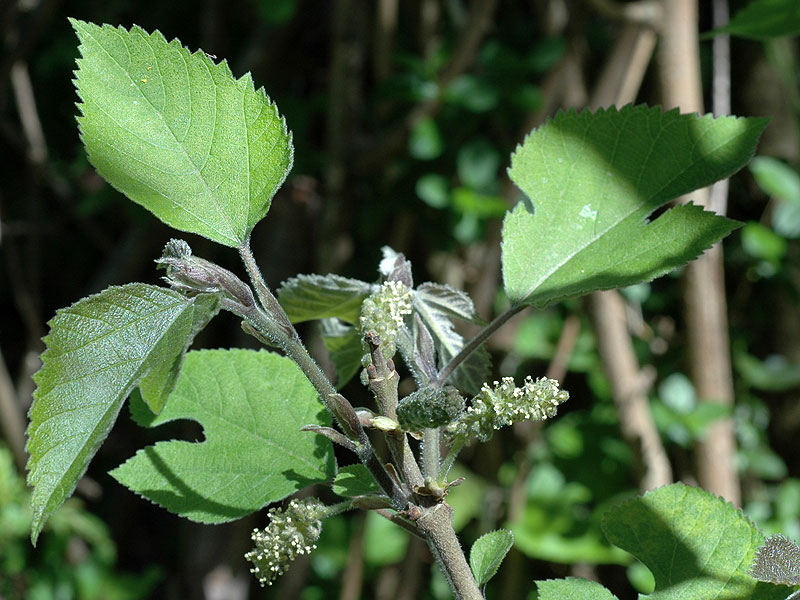 Broussonetia_papyrifera.David G. Smith.Delaware Wildflowers.delawarewildflowers.org