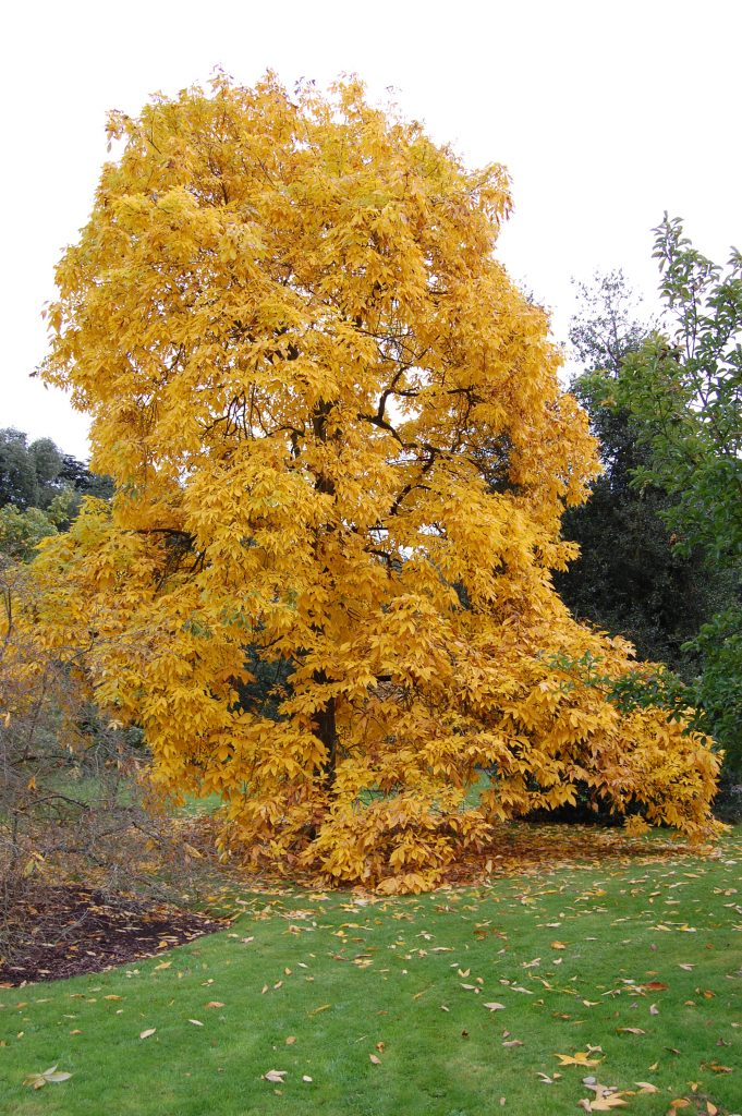 Carya ovata tree in Autumn. © Davis Landscape Architecture, London, UK. www.davisla.com