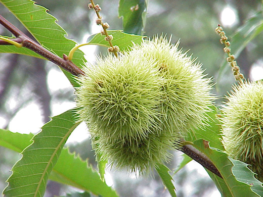 Castanea dentata fruit and male catkins. Dr. Chris Briand. © Salisbury University Arboretum 2009. salisbury.edu