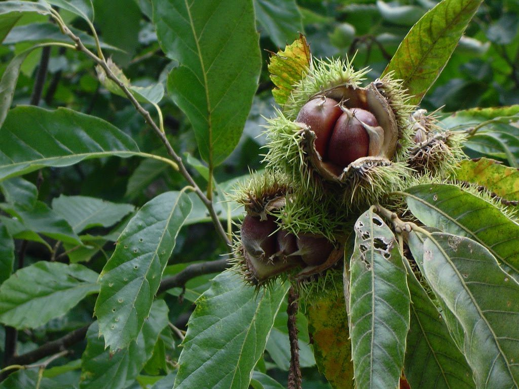 Castanea dentata ripe fruit. Fruit Warehouse. fruitwarehouse.blogspot.com