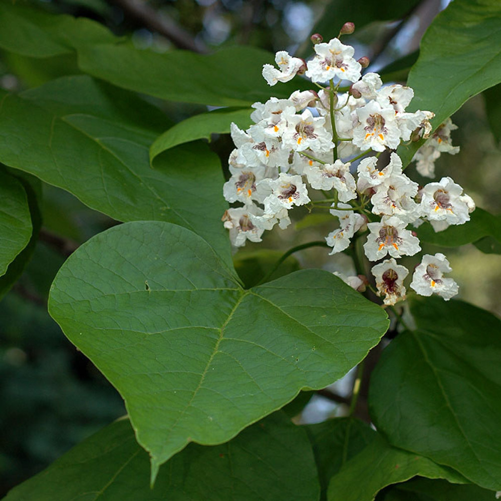 Catalpa bignonioides.David G. Smith.New England Wild Flower Society.gobotany.newenglandwild.org.jpg