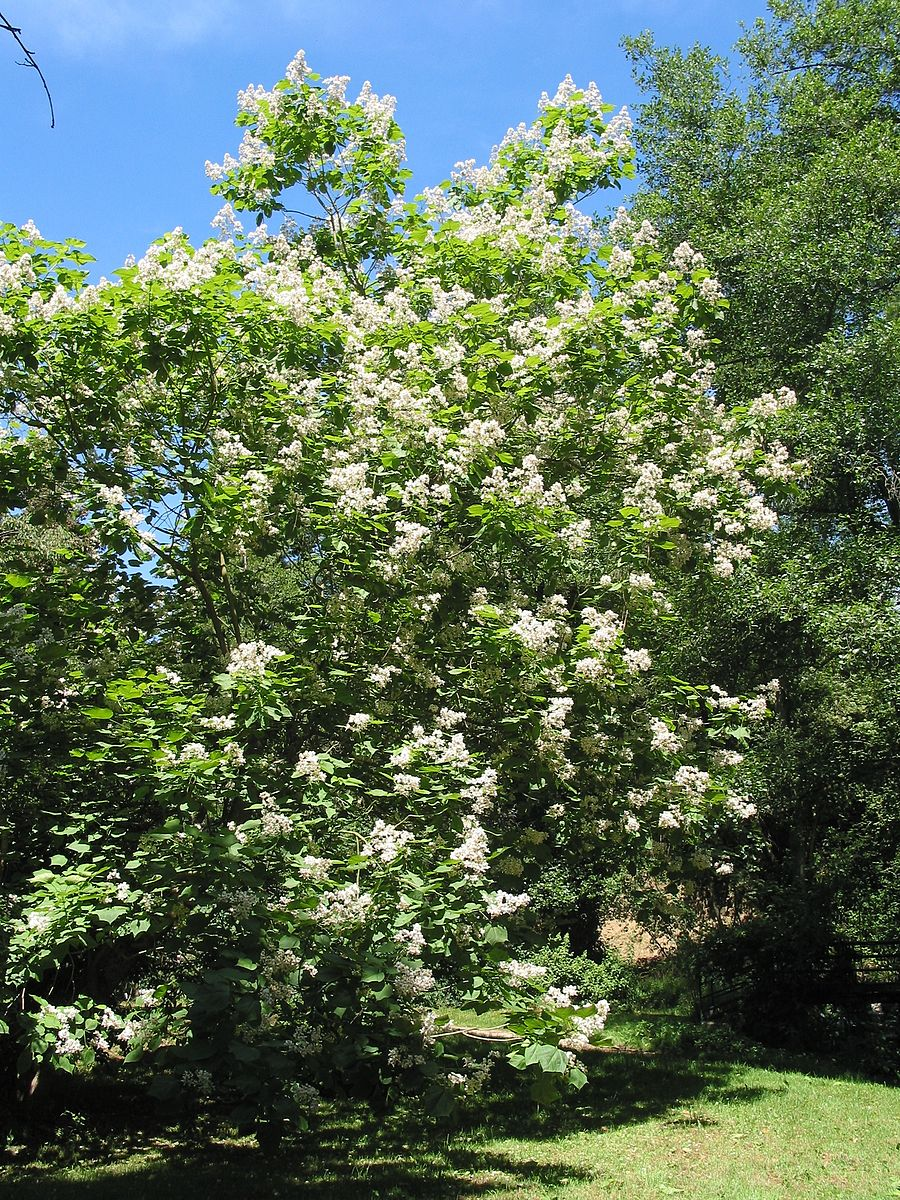 Catalpa speciosa tree in bloom. commons.wikimedia.org
