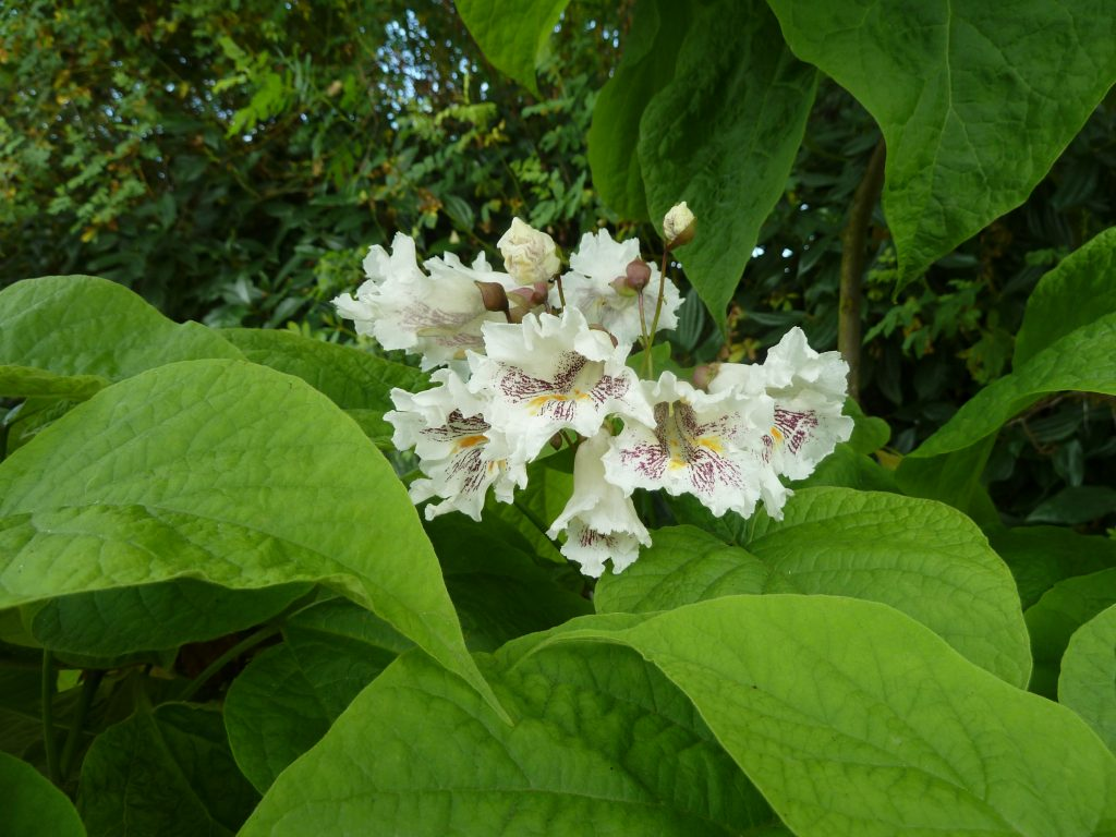 Catalpa speciosa.commons flowers.wikimedia.org