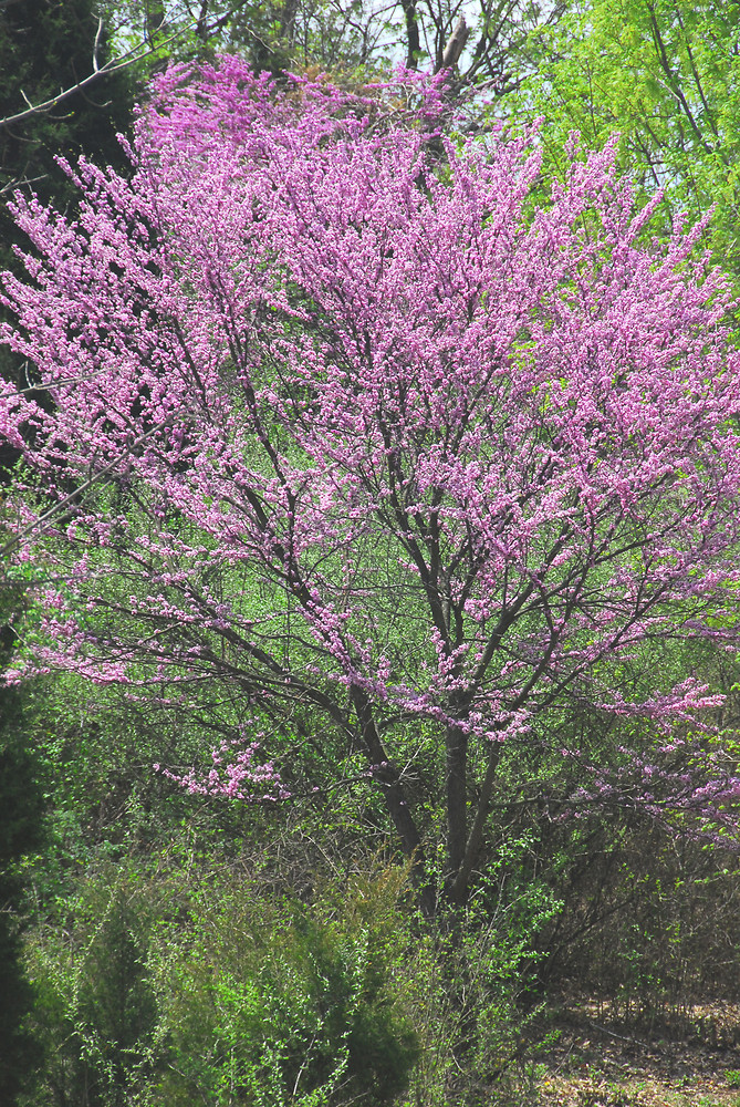 Cercis canadensis.William Cullina.New England Wild Flower Society.gobotany.newenglandwild.org