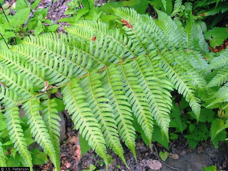 Dryopteris celsa.J.S. Peterson, hosted by the USDA-NRCS PLANTS Database