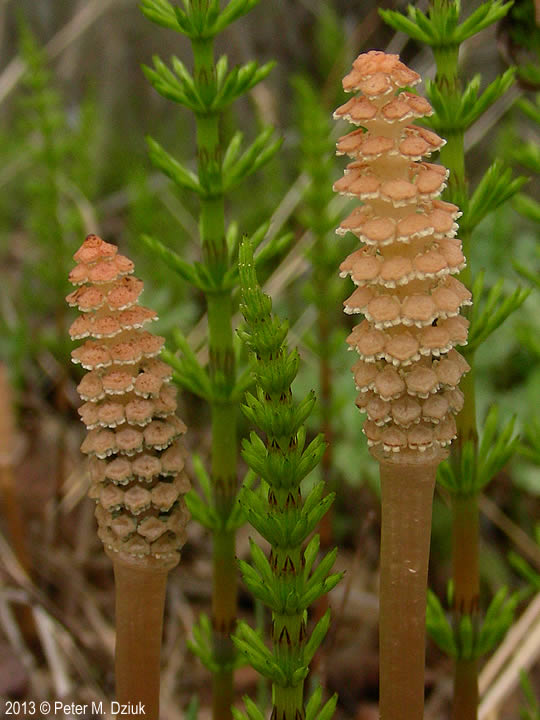 Equisetum arvense fertile and young sterile stems. 2013 © Peter M. Dziuk. Minnesota Wildflowers. minnesotawildflowers.info