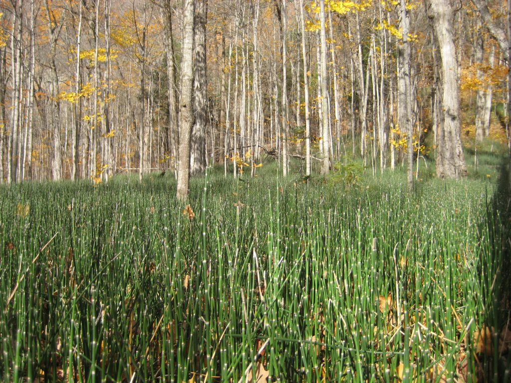 equisetum-hyemale_cap_tourmente_quebec-commons-wikimedia-org
