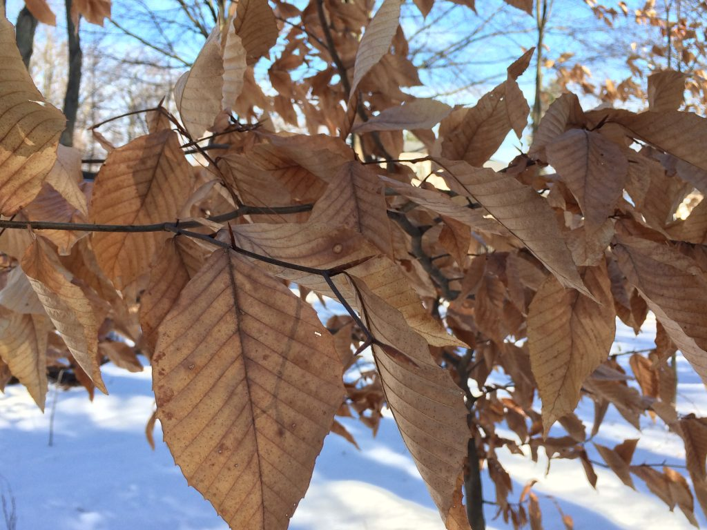 fagus-grandifolia-mbg-mid-winter-back-yard-1-30-2016