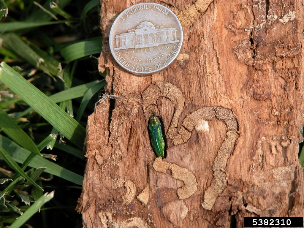 fraxinus-americanus-emerald-ash-borer-agrilus-planipennis-photo-courtesy-of-eric-r-day-virginia-polytechnic-institute-and-state-university-bugwood-org-arinvasives-org