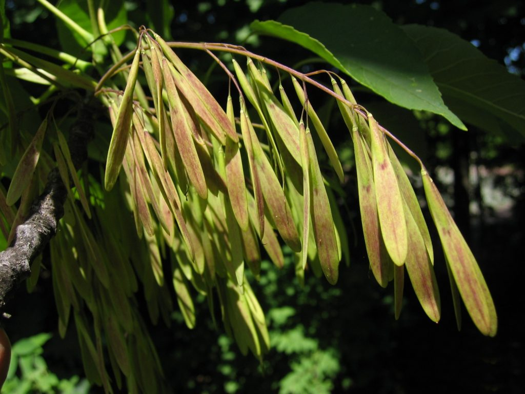 fraxinus-americana-seeds-commons-wikimedia-org-accessed-12017