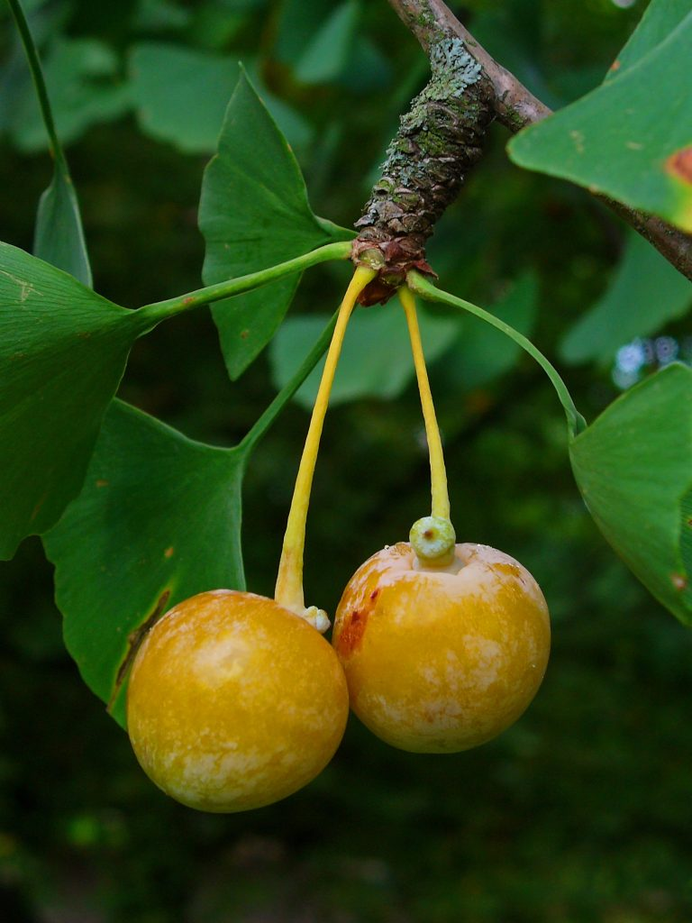 ginkgo-biloba-fruit-commons-wikimedia-org