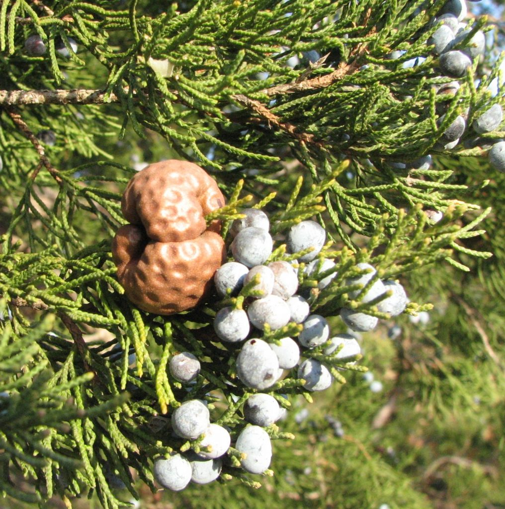 Gymnosporangium_juniperi-virginianae_gall and Juniper cones.commons.wikimedia.org