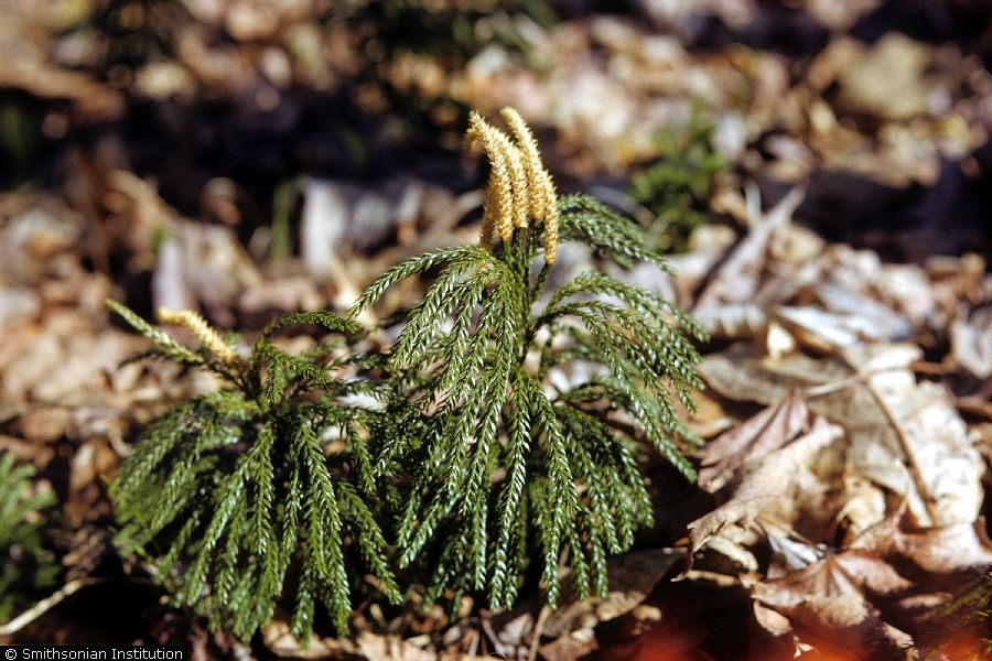 Lycopodium obscurum.R.A. Howard, hosted by the USDA-NRCS PLANTS Database